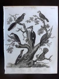 Rees 1820 Antique Bird Print. Curucui, Barbet, Woodpecker, Nuthatch
